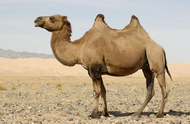 I'm a CamelGulper